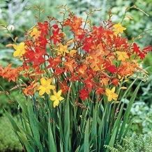 Dwarf Iris Pumila /'Tickety Boo/' Perennial Bulb//Tuber//Rhizome Pack x1