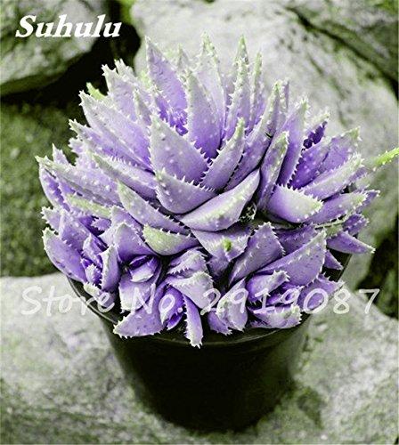 Nouveau! 20 Pcs coloré Cactus Rebutia Variété mélange exotique Aloe Graines Cacti Rare Bureau Cactus comestibles Beauté Succulent Bonsai Usine 1