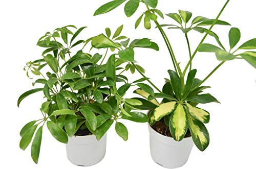 2 Schefflera Plant Variety in 4