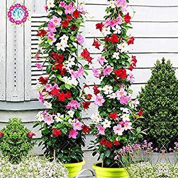 Potseed 100pcs / Sac Mandevilla Sanderi -Dipladenia Sanderi Graines, Fleurs des Plantes pour Jardin Plantation, Facile à cultiver 1