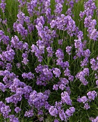 Lavendel 25 Stück Dwarf Blue Echter Lavendula Hecke, Bodendecker, T9x9