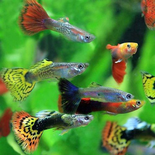 (熱帯魚)ミックスグッピー (外国産)(約3cm)(5ペア)[生体]