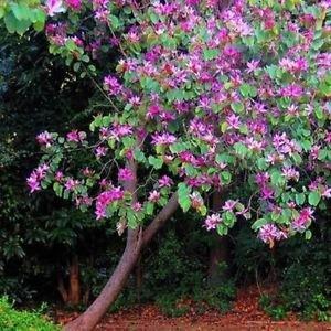 Graines de Purple Orchid Tree (Bauhinia purpurea) 10 + Graines