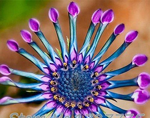 Rare Heirloom Flower & amp; puissance de Spider & amp; Graines de Purple Chrysanthème, Paquet professionnel, 100 graines/Pack, Graines anti-moustique