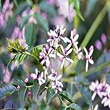 Persiana lilla semi melia azedarach flowering tree bulk 40 seed confezione Il prezzo include doveri customes Semi è il pacchetto set Spedizione fornendo internazionale
