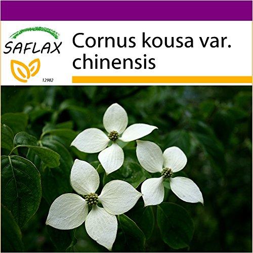 SAFLAX - Big Garden - Asiatischer Blüten - Hartriegel - 30 Samen - Mit Gewächshaus, Töpfen, Anzuchtsubstrat und Dünger - Cornus kousa