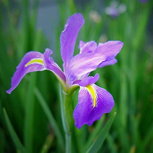 Pets Delite® Fuchsia Laternen Blumensamen Garten Balkon Begonia Bell Pot Blumensamen - Blau-10 Stck
