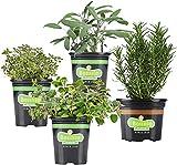 Bonnie Plants Grillers Herb Plant Garden - 4 Pack Live Plants, Grow...