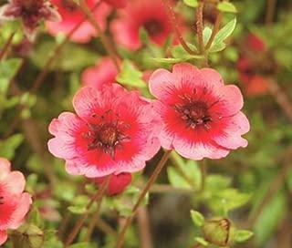 Cinquefoil Miss Willmott Potentilla Nepalensis - 500 Bulk Seeds