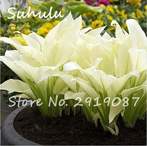 50Schöne Mehrjährige Funkien Samen Fire und Ice Schatten weiß Spitze Bodenbedeckung Pflanze attraktives Butterfly Light Up Your Garden 3