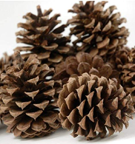 "12 Ponderosa Decorative 3"" - 5"" Pine Cones UNSCENTED Fall Winter Holiday Home Decor Vase Bowl Filler Displays Crafts"
