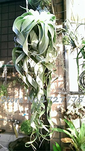 100pcsBonsai semi semi succulente ananas mini purificatore d'aria seme semi Tillandsia aria Casa & amp; Giardino 100 / confezione