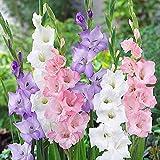 Kisshes Seeds- 100 Pcs Perenne Gladiolus Semillas de flores Jardín Aerobic Potted Plants Espada Lily Flowers (Rosa blanco)