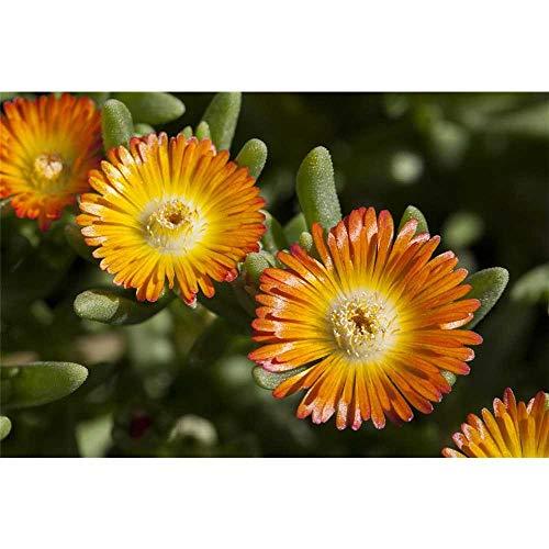 Mittagsblume 'Wheels of Wonder'® Orange Wonder - Delosperma 'Orange Wonder', im Topf 12 cm, winterhart - 12 cm