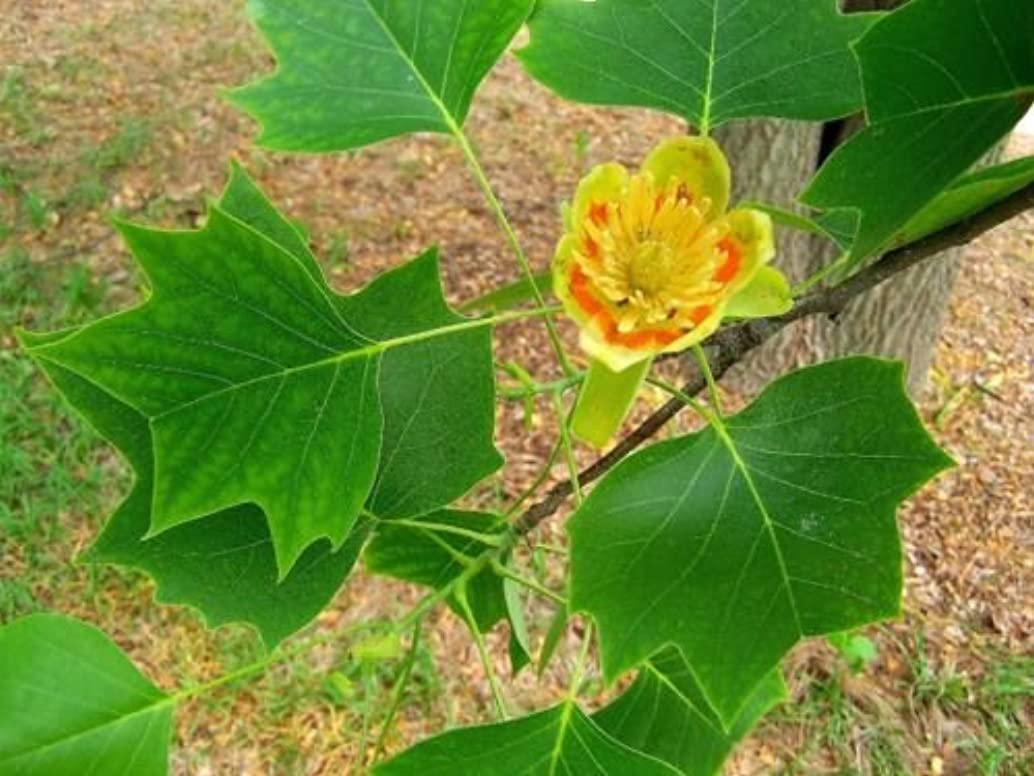 1 Tulip-poplar tree (Liriodendron tulipifera) 2 to 3 feet