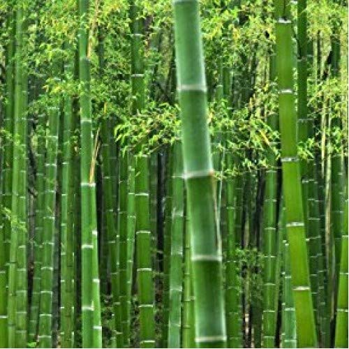 50 Rare Moso Bamboo Seeds - Exotic Garden Shade Plants, Fast Growing Trees for Privacy, Hedge Seeds for Planting, Seeds for Planting Bamboo Plants Outdoor.