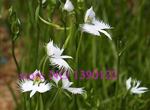100 pièces rares fleurs japonais Radiata Graines de rares orchidées angle mondial pour Garden & Home plantation blanc orchidées colombe graines