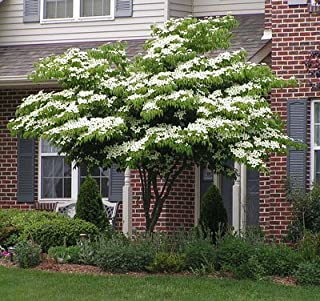 White Kousa Dogwood Tree - 3-4 ft.
