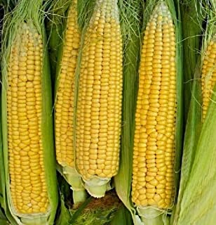6x Zuckermais Golden Bantam EKO Mais Samen Saatgut Pflanze Gemüse KS415