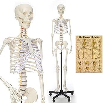 Best lifesize skeleton Reviews