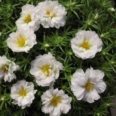 Portulaca Moos Rose Weiß Bodendecker Samen (Portulakröschen) 200 + Seeds