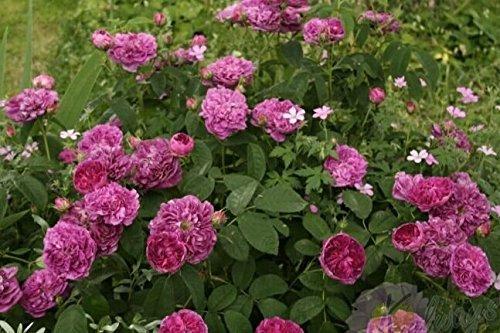 graines Charles de Mills Fleur 100PCS Jardin famille de plantes Rosa Chinensis Seed Rose SeedsAndPlants Bonsai pot bricolage Belle