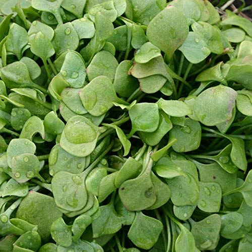 Suffolk Herbes - mineurs Claytonia organique laitue - 250 graines