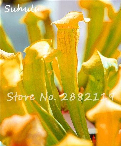 60 Pcs vivaces Nepenthes Seeds Carnivores Venus Fly Trap plus chaud du monde des plantes Graines Bonsai Garden Seed Color Mix Livraison gratuite 9