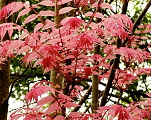 100 Toona sinensis Samen, winterharter chinesischer Gemüsebaum, Chop Suey Baum