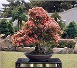 honic 10 pezzi heirloom semi crape myrtle bonsai semi di fiore mini home forniture da giardino coperta fiori albero pianta guarda sementes dono: blue sky