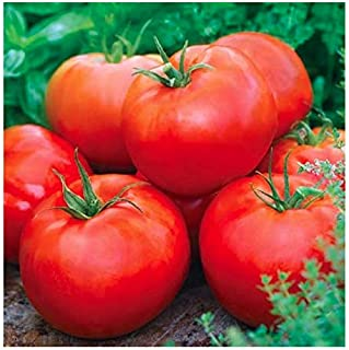 Ace 55 Tomato Seeds - Large Tomato - One of The Most Delicious Tomatoes for Home Growing, Non GMO - Neonicotinoid-Free. 200+ Seeds