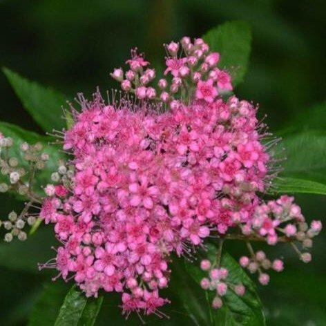 Generic 100 unids Glacial Pflanzen Spiraea, Zierblumensamen