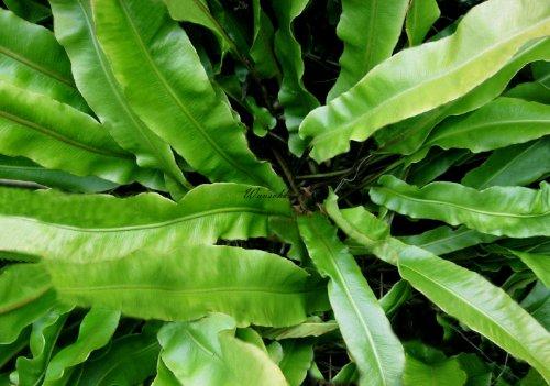 Staudenkulturen Wauschkuhn Phyllitis scolopendrium - Hirschzungenfarn - Farn im 9cm Topf