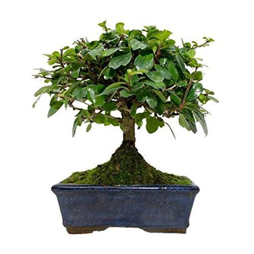 Bonsái Carmona Microphylla 5 Años Té de Filipinas, Té de Fukien o Arbusto Escorpión