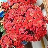 100 piezas de semillas de flores rojas de longevidad para plantar en el jardín de bricolaje Vista única del jardín