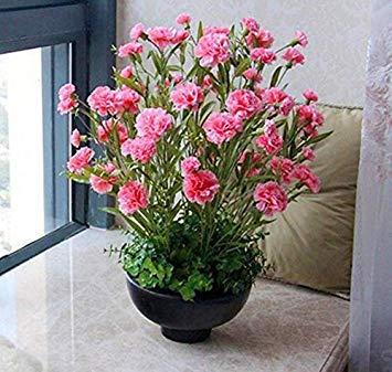 Potseed 200 Pcs Rose Carnation Graines de Fleurs Facile Croissance HomeFlower