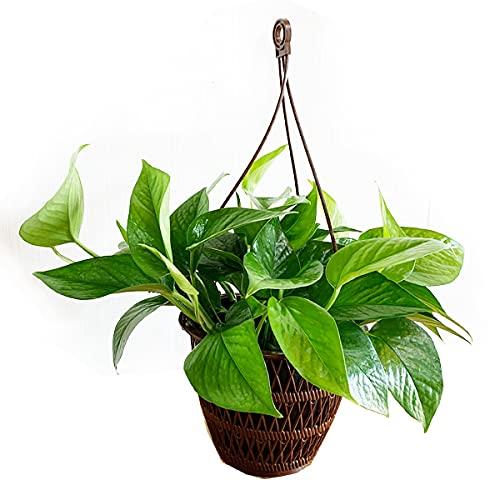 ポトス パーフェクトグリーン 吊り鉢 インテリア 本物 観葉植物