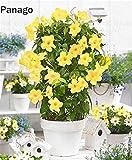 Pinkdose 100pcs Mandevilla sanderi Fiore Dipladenia sanderi Climbing fiore bonsai pianta perenne piante bonsai pottet giardino di casa: 2