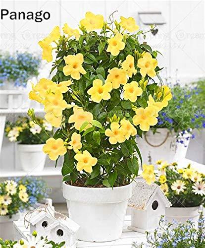 Pinkdose 100pcs Mandevilla Sanderi flor dipladenia sanderi flor Escalada Bonsai planta perenne plantas bonsái pottet casa jardín: 2