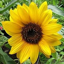 HOT - Big Smile Dwarf - 35 Seeds - Pot Sunflower - Helianthus annuus Yellow - Gold