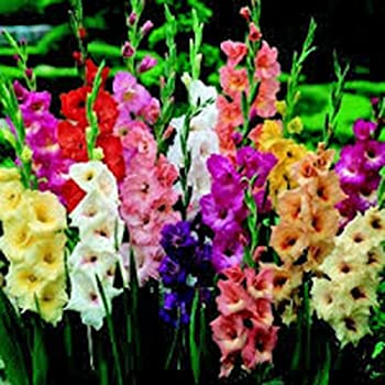 GLADIOLUS BULB  20 PACK  PASTEL MIXED MIXED PERENNIAL GLADIOLUS BULBS FLOWERS