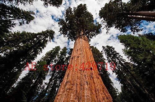 100 STÜCKE seltene riesen mammutbaum samen, schnelles wachstum, seltene baum samen für gartendekoration natur geschenk