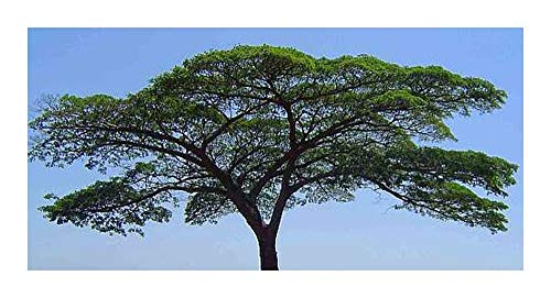 Albizia adianthifolia - syn: Albizia gummifera - 10 graines