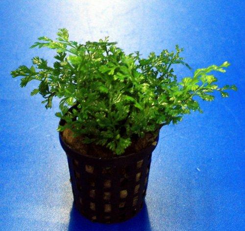 Mini-Bolbitis, Mini-Wasserfarn/Bolbitis (heteroclita) difformis