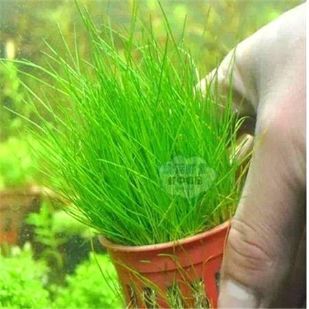 200 Pcs gazon Graines Fields Golf Football Villa Evergreen Lawn Belle plantation d'herbe Bonsai Fleurs de bricolage Votre Jardin