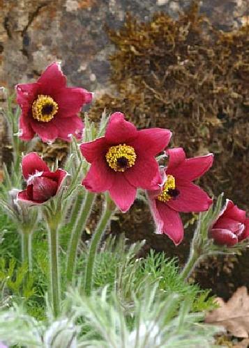 Tropica - Steingarten - Kuhschelle (Pulsatilla vulgaris) - 20 Samen