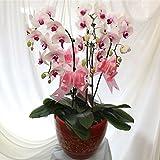 mymotto 20pcs Semillas de orquídeas Phalaenopsis Rosa Semillas de orquídeas Mariposa