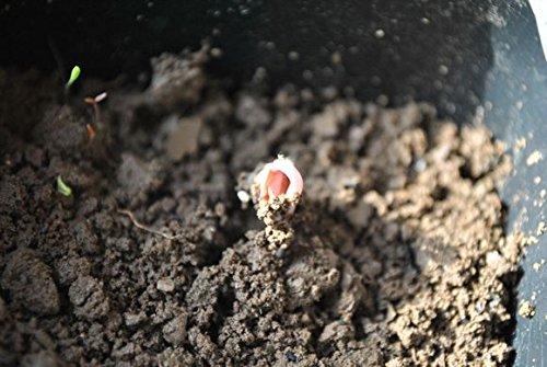 200pc (Golden + Bleu Bord) Rose Graine magique chinoise croissance naturelle des plantes