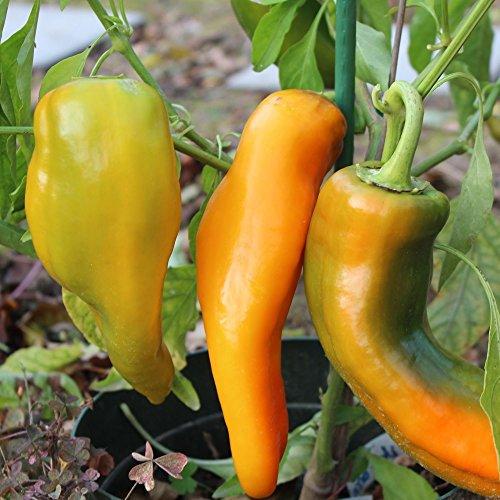 Samen für ca. 15 Pflanzen Corno di Toro giallo Paprika – italienische Sorte, ertragreich