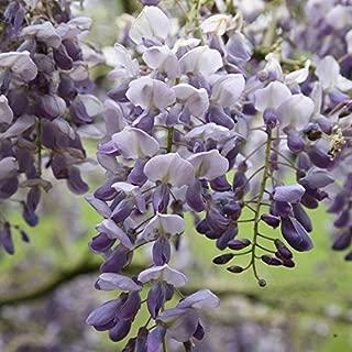 5 Purple Black Dragon Chinese Wisteria Seeds Vine Climbing Flower Perennial